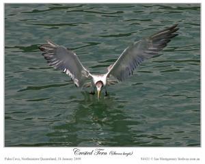 Crested Tern now Swift Tern (Thalasseus bergii) by Ian