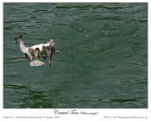 Crested Tern now Swift Tern by Ian