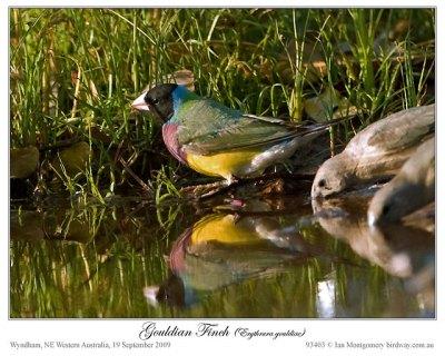 #2 Black-headed Gouldian Finch by Ian