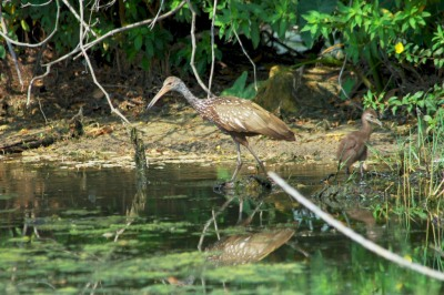 Limpkin & Baby at Saddle Creek By Dan'sPix