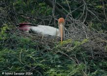 Painted Stork (Mycteria leucocephala) by Nikhil Devasar