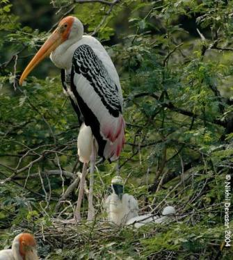 Painted Stork (Mycteria leucocephala) w youngby Nikhil Devasar