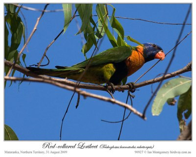 Red-collared Lorikeet (Trichoglossus rubritorquis) by Ian