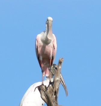 Roseate Spoonbill and Wood Stork by Lee