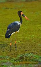 Saddle-billed Stork (Ephippiorhynchus senegalensis) by Africaddict