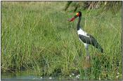 Saddle-billed Stork (Ephippiorhynchus senegalensis) by Daves BirdingPix