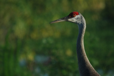 Sandhill Crane at Cirle B by Tommy Tompkins