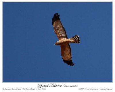 spotted_harrier_80355
