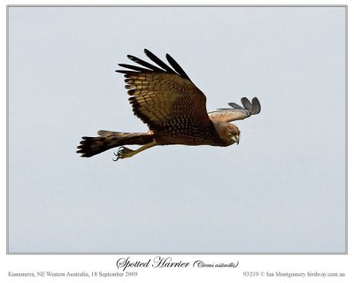 Spotted Harrier (Circus assimilis) by Ian