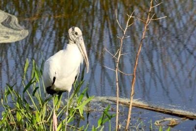 Wood Stork (Mycteria americana) By Dan'sPix