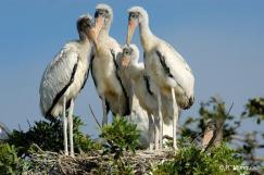 Wood Stork (Mycteria americana) by Reinier Munguia
