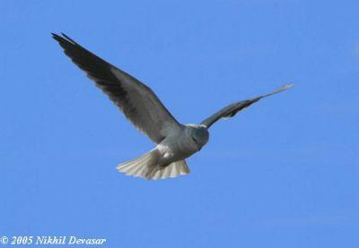 Black-shouldered Kite (Elanus axillaris) by Nikhil