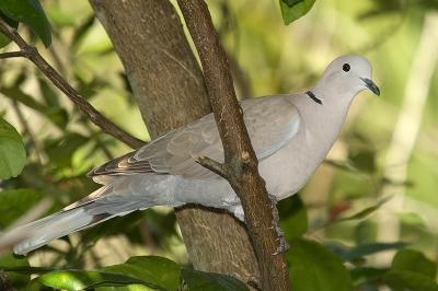 Eurasian Collared Dove (Streptopelia decaocto) by Reinier