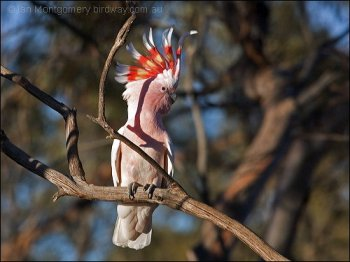 Major Mitchell's Cockatoo (Lophochroa leadbeateri) By Ian