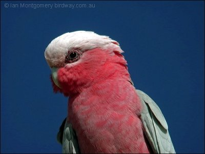 Galah (Eolophus roseicapilla) Male by Ian at Birdway.com
