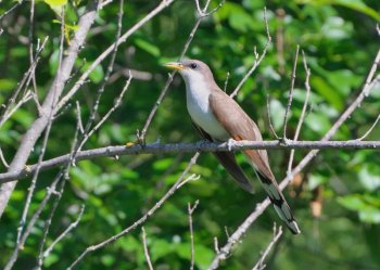 Yellow-billed Cuckoo (Coccyzus americanus) Neal Addy Gallery