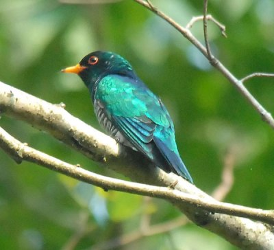 Asian Emerald Cuckoo (Chrysococcyx maculatus) by Nikhil