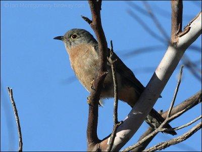 Fan-tailed Cuckoo (Cacomantis flabelliformis) by Ian