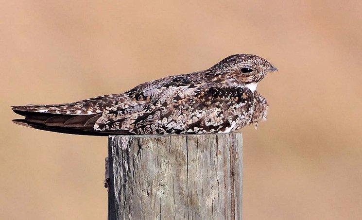 Common Nighthawk (Chordeiles minor) Neal Addy Gallery