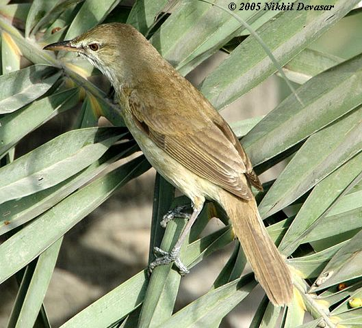 Clamorous Reed Warbler (Acrocephalus stentoreus) by Nikhil