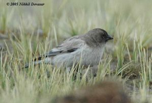 Brandt's Mountain Finch (Leucosticte brandti) by Nikhil