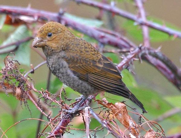 Scarlet Finch (Haematospiza sipahi) 2by Nikhil