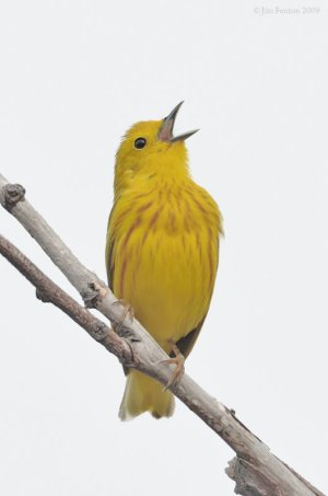 Good ground - American Yellow Warbler (Dendroica aestiva) by J Fenton