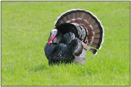 Wild Turkey (Meleagris gallopavo) by Daves BirdingPix