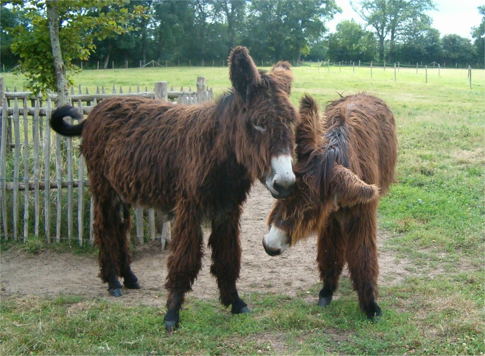 Baudet Donkey - Shaky and Brown