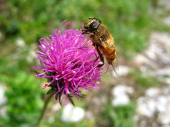 Bee - Apoidea on Trifolium