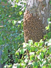 Bees cluster©WikiC