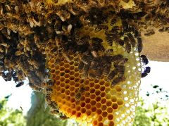 Bees on Comb©WikiC