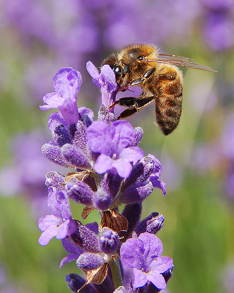 Bee - On a Flower ©WikiC