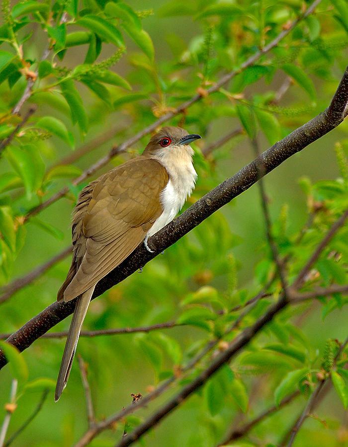 Black Billed Cuckoo Coccyzus Erythropthalmus By Jim Fenton