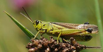 Grasshopper ©WikiC