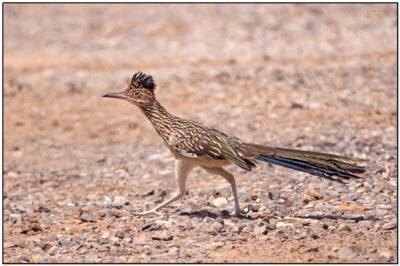 Greater Roadrunner (Geococcyx californianus) by Daves BirdingPix