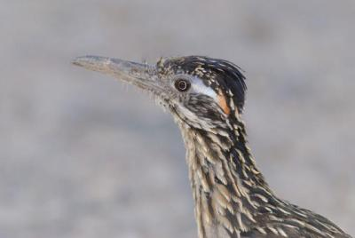 Greater Roadrunner (Geococcyx californianus) Reinier Munguia