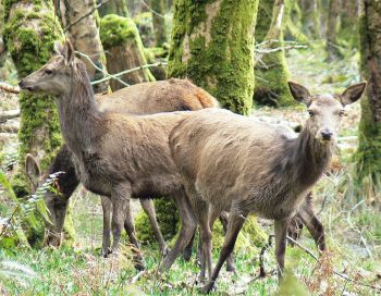 Hinds at Killarney National Park©WikiC
