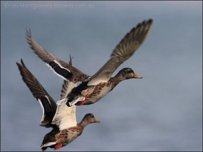 Mallards flying off by Ian