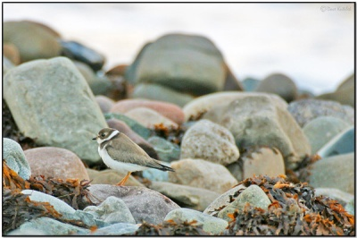 Among rocks - Piping Plover