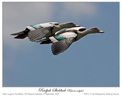 Pair of Raja Shelduck by Ian