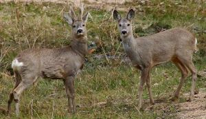 Roe Deer - Wikipedia