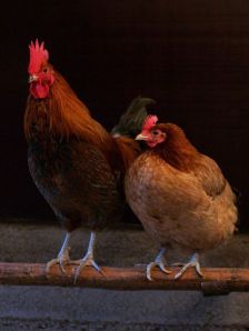 Rooster and Hen - Wikipedia