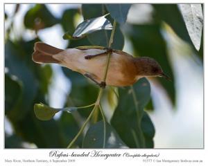 Rufous-banded Honeyeater (Conopophila albogularis) by Ian