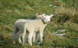 Scripture Alphabet of Animals: TheSheep