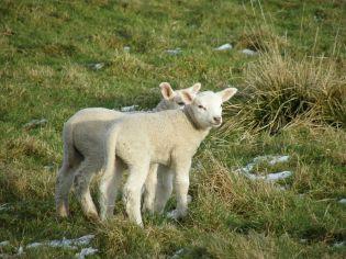 Lambs ©WikiC