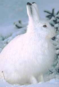 Snowshoe Hare or Rabbit