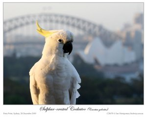 Sulphur-crested Cockatoo (Cacatua galerita) by Ian
