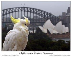 Sulphur-crested Cockatoo (Cacatua galerita) by Ian