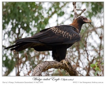 Wedge-tailed Eagles (Aquila audax) by Ian